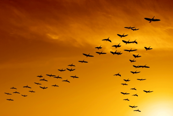 flock of migrating canada geese birds flying at sunset courtesy of Andrea Mathieson